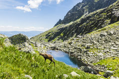 Tatra chamois in the valley. Tatra chamois lives in the Tatra Mountains in Slovakia, Poland and the Low Tatras in Slovakia Royalty Free Stock Photography