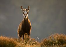 Tatra chamois. Young tatra chamois in mountains with backlight Royalty Free Stock Photography