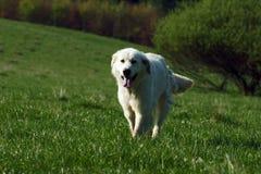 Tatra fårhund fotografering för bildbyråer