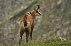Tatra mountain. Wildlife in beautiful Tatra mountain royalty free stock photography