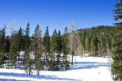 Winter Forest in sunny day. Forest and mountains in good weather conditions at bright sunny day Royalty Free Stock Image