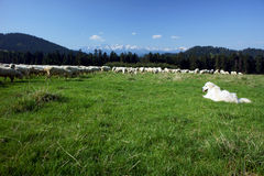 Tatra Shepherd and flock of sheep Royalty Free Stock Photo