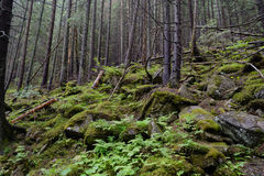 Tatra woods. Tatra National Park, Zakopane, Poland Royalty Free Stock Photos