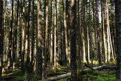 Tatra woods. Tatra National Park, Zakopane, Poland Royalty Free Stock Photography