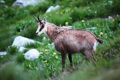 Tatrica do rupicapra do Rupicapra, cabra-montesa, Tatras alto, cabra-montesa protegida da espécie, cabra-montesa de Tatra fotos de stock