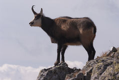 Tatrica rupicapra Rupicapra шамуа Tatra Стоковые Фотографии RF