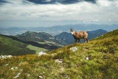 Tatrzańska giemza na wzgórzu fotografia stock