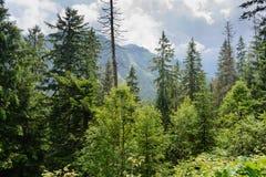 Tatrzańscy drewna Zdjęcie Stock