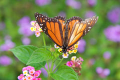 Tattered Monarch Butterfly on colorful flowers Stock Photo