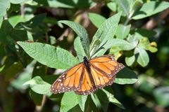 Tattered Monarch butterfly with damaged wing on green leaves. Tattered Monarch butterfly with broken wing on green leaves. It may be the most familiar North royalty free stock images