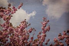 Tatto d'annata - cercare i fiori rosa di Sakura contro la SK blu fotografia stock libera da diritti