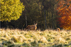 Tatton stags Stock Images