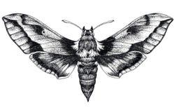 Tatuagem tirada mão da borboleta Tatuagem de Dotwork Colibri Hawk Moth Stellatarum de Macroglossum Lepidoptera Fotografia de Stock