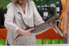 Tatyana Tarasenko with a cat during World Cat Show Stock Photography