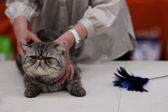 Tatyana Tarasenko with a cat during World Cat Show Royalty Free Stock Image