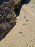 Tatze-Drucke im Sand stockfoto