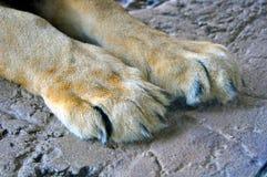 Tatzen eines stillstehenden Löwes Stockfoto