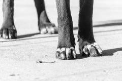 Tatzenhund auf der Natur Stockfotos