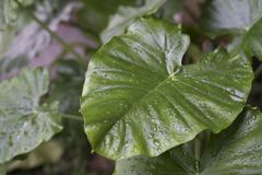 Tau auf Alocasia macrorrhiza Blatt morgens stockfotografie