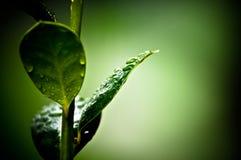 Tau auf Blättern Stockfotografie