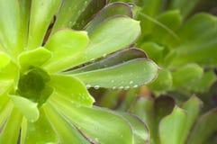 Tau auf Blättern der Grünpflanzen Stockfotos