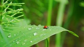 Tau auf Blättern und Marienkäfer Stockbilder