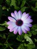 Tau auf Blumenblättern Stockfotografie