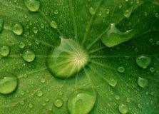 Tau auf Centella asiatica nach dem Regen Stockfotografie