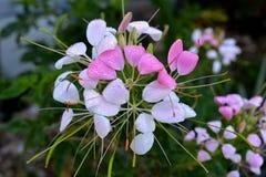 Tau auf Cleome-Blumen Stockbild