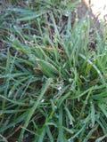 Tau auf dem Gras Morgen-Diamanten lizenzfreie stockbilder