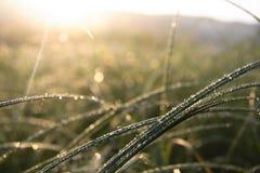 Tau auf einem Gras. Sonnenaufgang. Lizenzfreie Stockfotos
