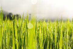Tau auf Reisfeld Lizenzfreie Stockbilder