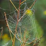 Tau auf Spinnen-Web Stockbilder