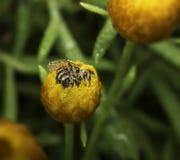 Tau bedeckte die Biene, die innerhalb einer Blume fest ist Lizenzfreie Stockbilder