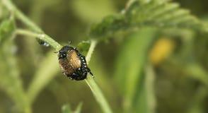 Tau des frühen Morgens bedeckte japanischen Käfer Lizenzfreie Stockfotos