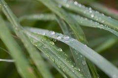 Tau- oder Wassertropfen auf Grashalmen Stockfoto
