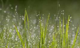 Tau-Perlen auf grünem Gras Stockfotos