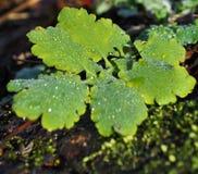 Tau-Tröpfchen auf Blättern Lizenzfreies Stockbild