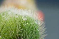 Tau-Tropfen auf einer Mohnblume-Knospe lizenzfreies stockfoto