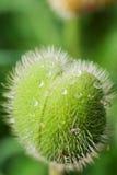 Tau-Tropfen auf einer Mohnblume-Knospe lizenzfreie stockfotografie