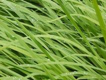 Tau-Tropfen auf langen Grashalmen Stockbild