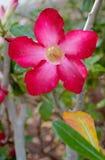 Tau-Tropfen auf Wüstenrose mit Gelbgrünblättern Stockfoto