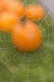 Tau umfasste Spinnen-Netz vor Kürbis Stockfotos