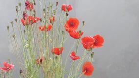 Tau-Winterwasser der Mohnblumenblume lässt rotes nebeliges Wetter fallen stockbild