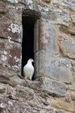 Taube in Abbey Window Lizenzfreie Stockfotos