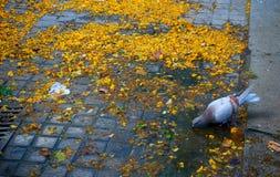 Taube allein in den Straßen einer Stadt, trinkend von einer Pfütze in einem schmutzigen Boden stockfoto