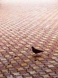 Taube alleine Stockbild