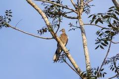 Taube auf Baum Stockbild