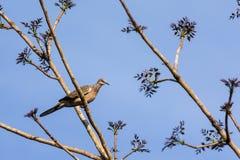 Taube auf Baum Lizenzfreies Stockfoto