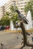 Taube auf Baumzweig stockbilder